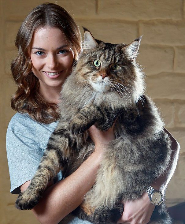 25. кошка, мейн-кун, подборка