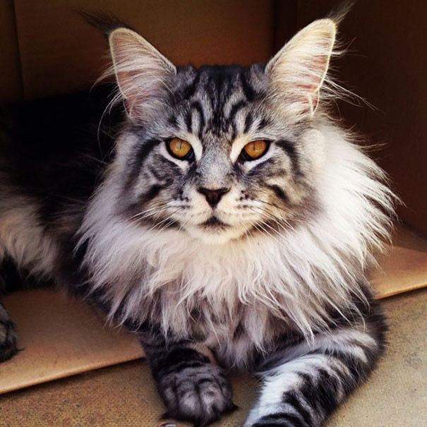 2. кошка, мейн-кун, подборка