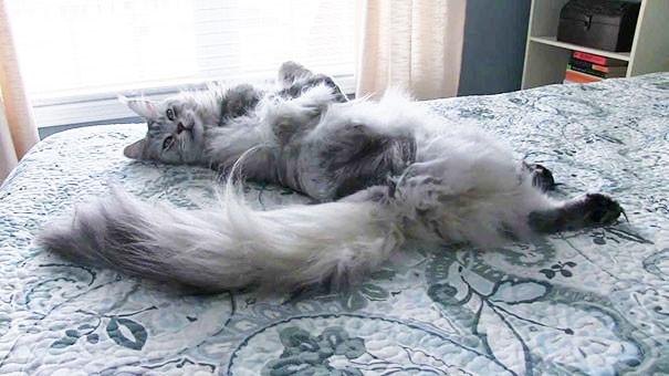 27. кошка, мейн-кун, подборка