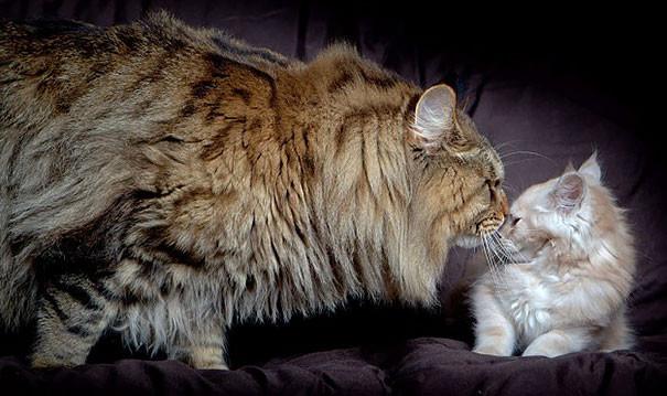 19. кошка, мейн-кун, подборка
