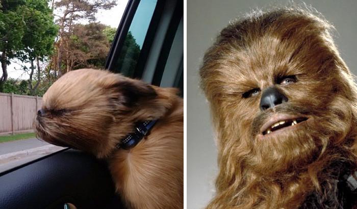 18. Собака-Чубакка вещи, люди, похожие лица, схожесть