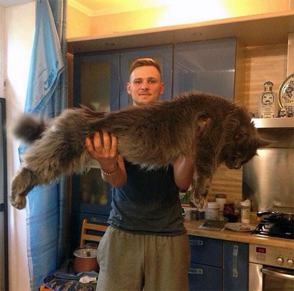 15. кошка, мейн-кун, подборка