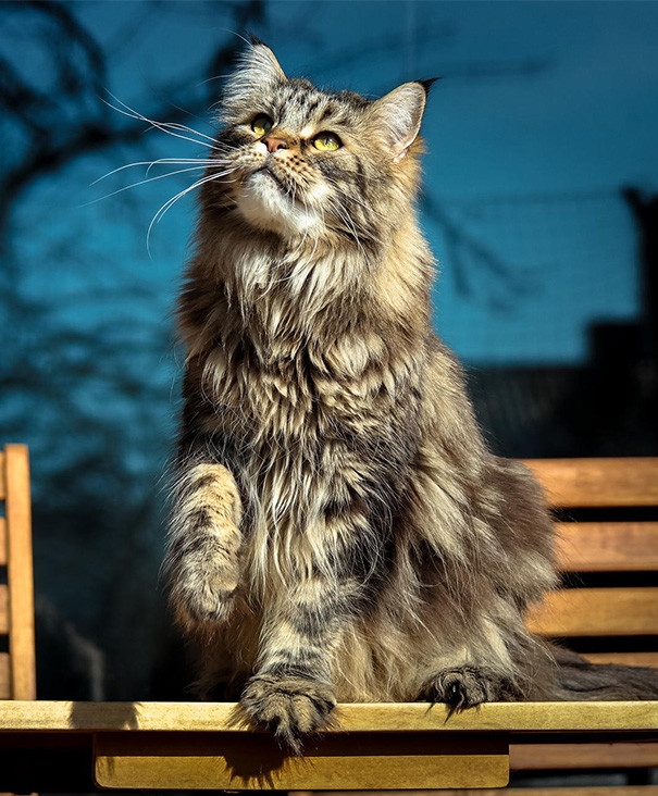 24. кошка, мейн-кун, подборка