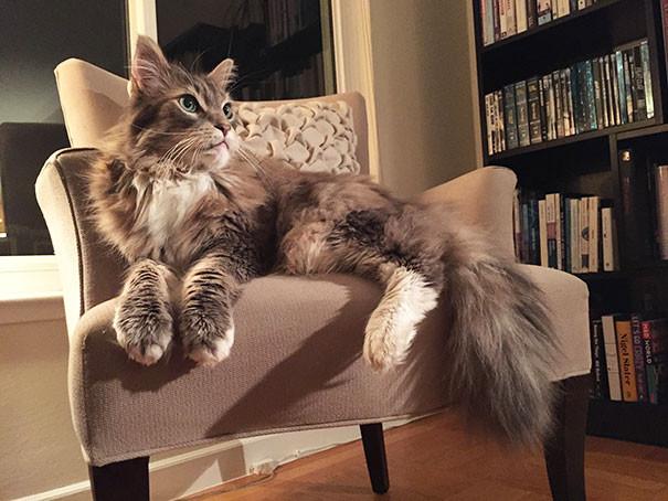 22. кошка, мейн-кун, подборка