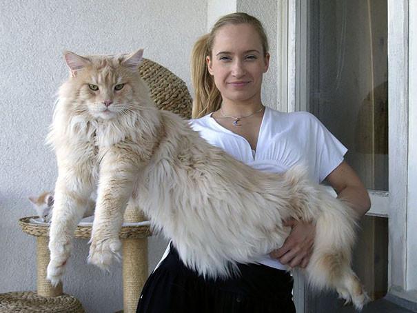 10. кошка, мейн-кун, подборка