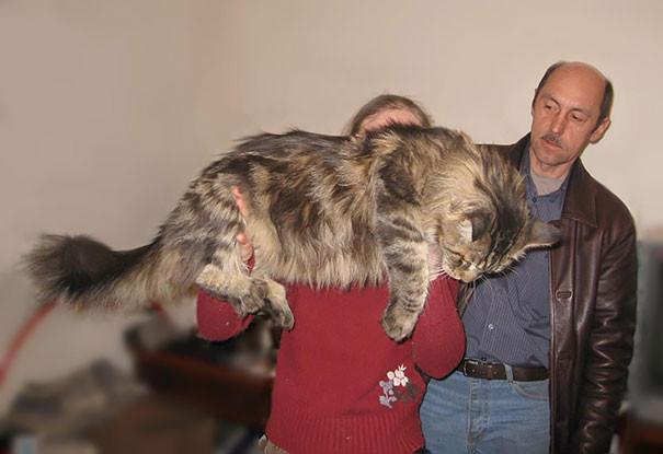 54. кошка, мейн-кун, подборка