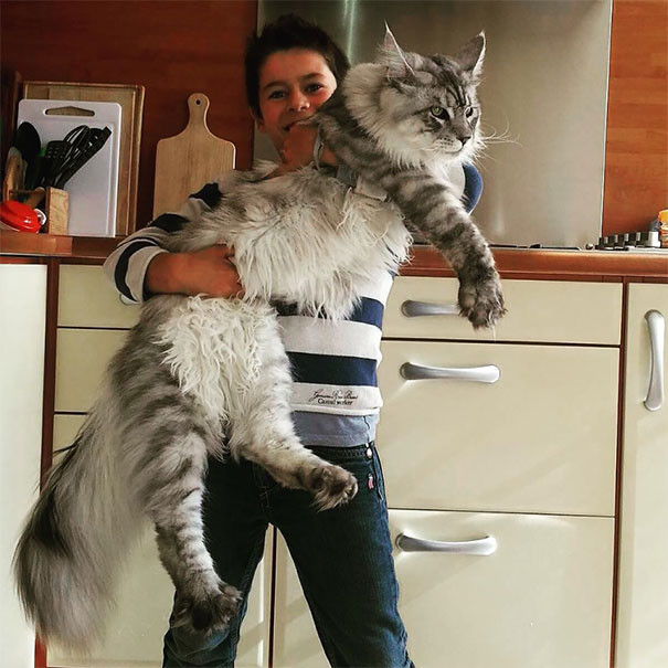 1. кошка, мейн-кун, подборка