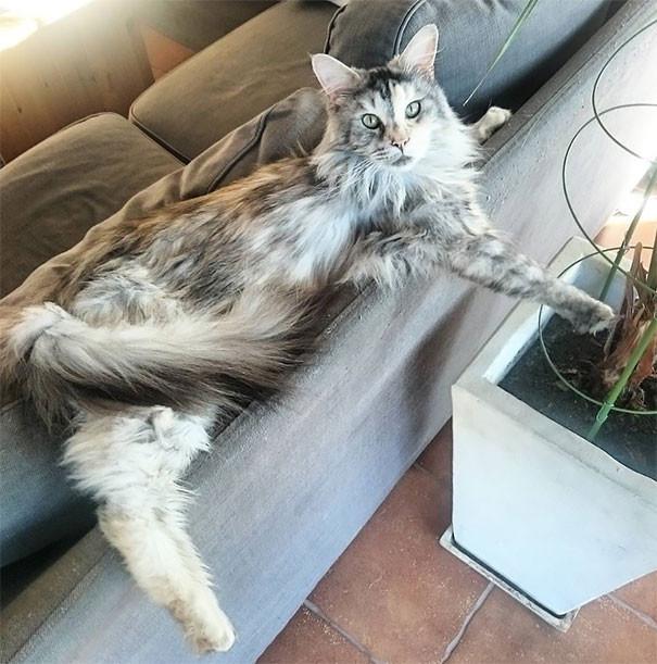 52. кошка, мейн-кун, подборка