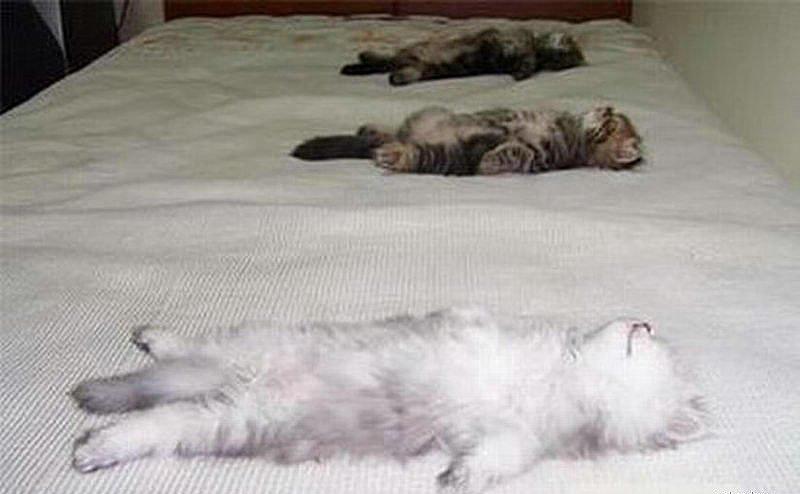 Чему много к снятся коты котов сонник