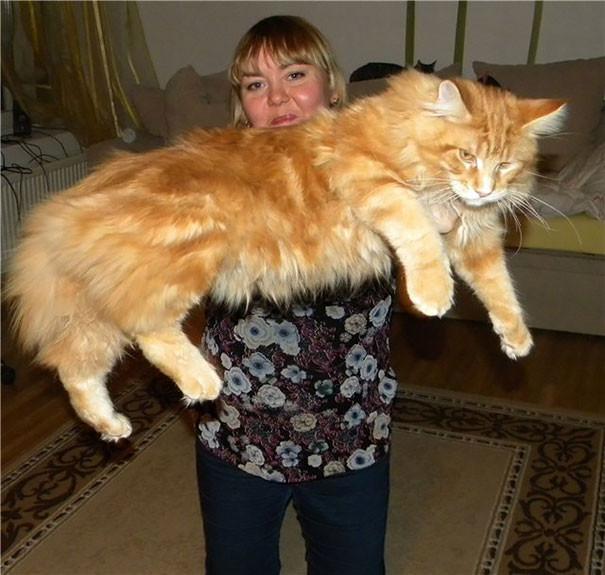 53. кошка, мейн-кун, подборка