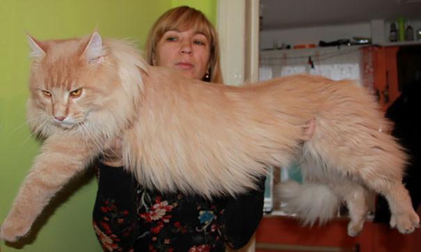 43. кошка, мейн-кун, подборка