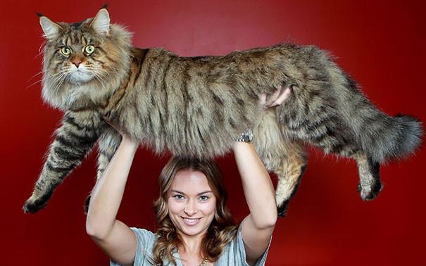 14. кошка, мейн-кун, подборка