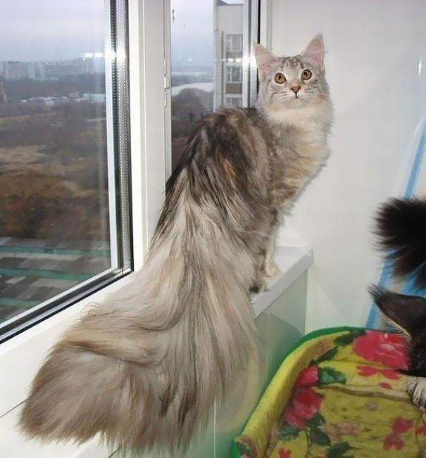 16. кошка, мейн-кун, подборка