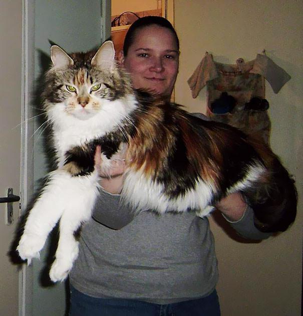 41. кошка, мейн-кун, подборка