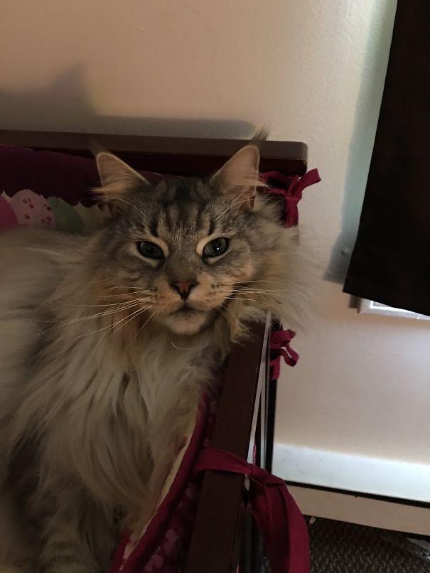 40. кошка, мейн-кун, подборка