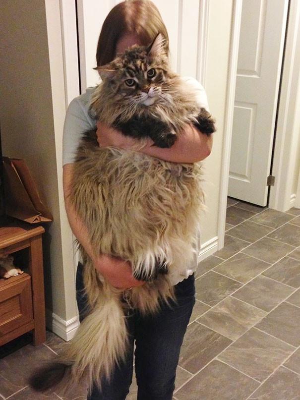 36. кошка, мейн-кун, подборка