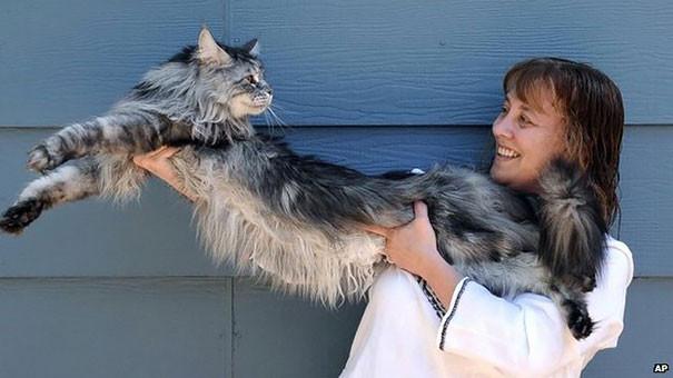 31. кошка, мейн-кун, подборка