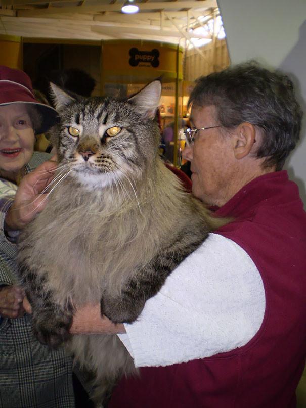 48. кошка, мейн-кун, подборка
