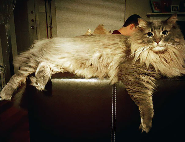 9. кошка, мейн-кун, подборка