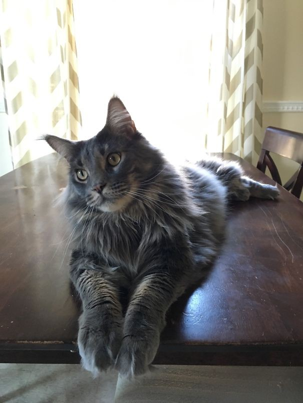 55. кошка, мейн-кун, подборка