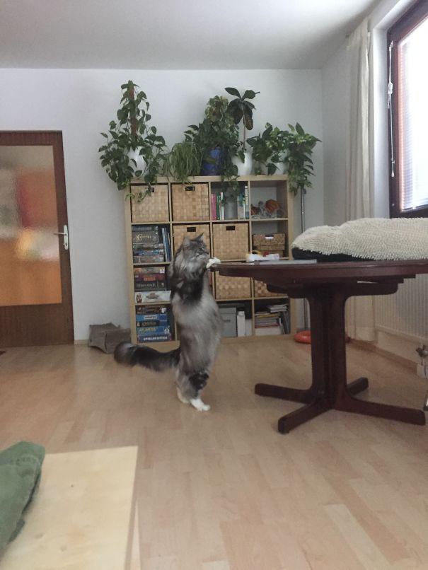 74. кошка, мейн-кун, подборка