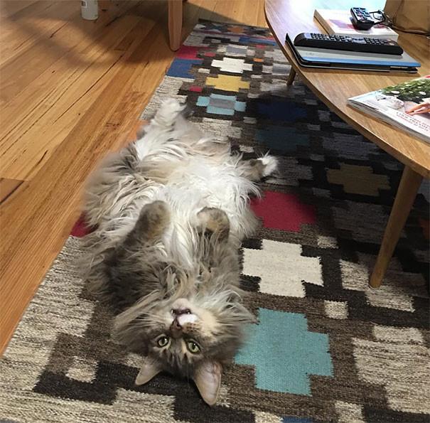 26. кошка, мейн-кун, подборка