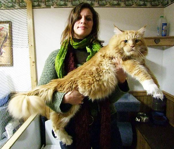 60. кошка, мейн-кун, подборка