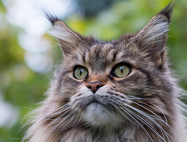 30. кошка, мейн-кун, подборка