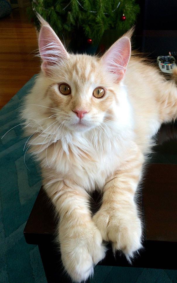 18. кошка, мейн-кун, подборка