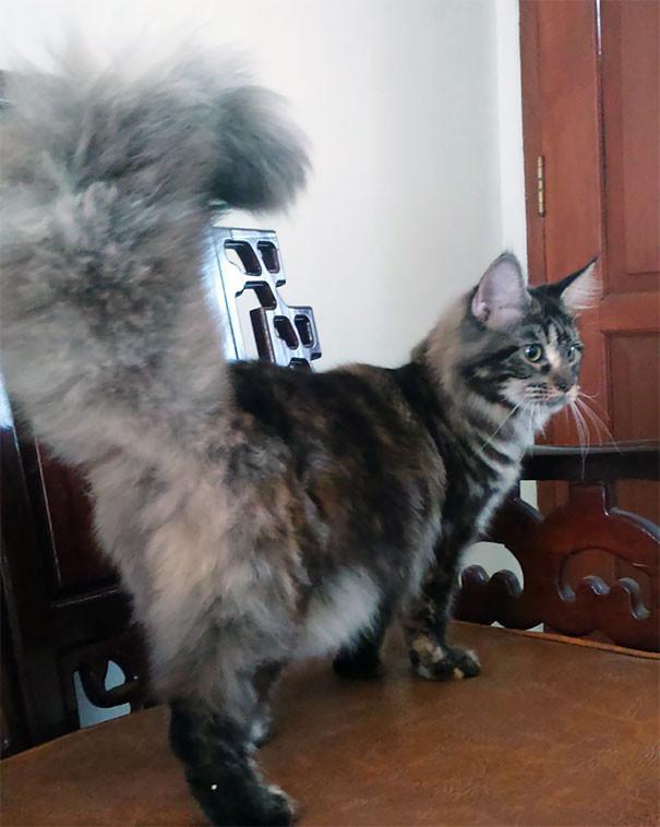 45. кошка, мейн-кун, подборка