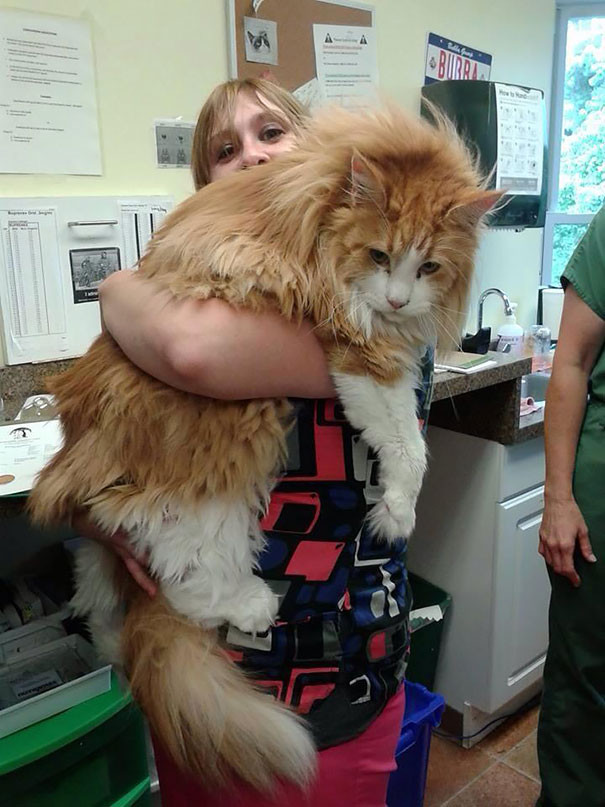 5. кошка, мейн-кун, подборка