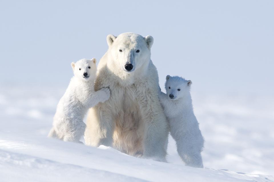 Картинки по запросу Медвежонок попал в ловушку, и даже мама не могла его спасти. Но вдруг появились они…