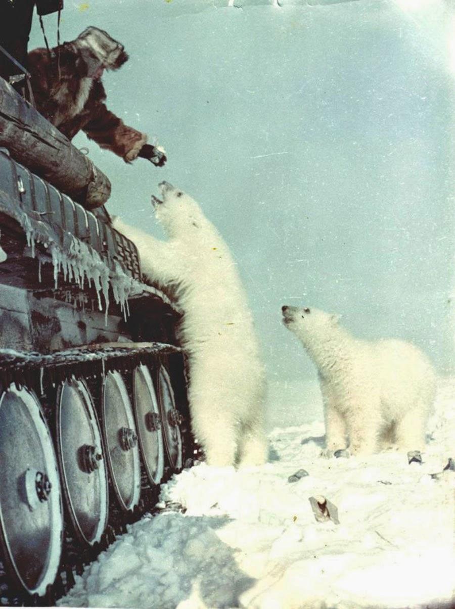 Участник советской военной экспедиции на Чукотский полуостров кормит с танка белого медведя сгущённым молоком. 1950 год.