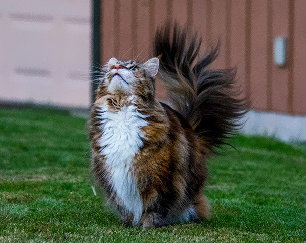 20. кошка, мейн-кун, подборка