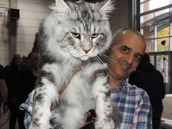 21. кошка, мейн-кун, подборка