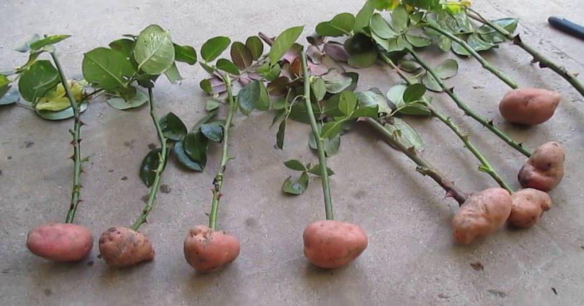 Как вырастить розу в картошке? uDuba.com