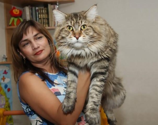 42. кошка, мейн-кун, подборка