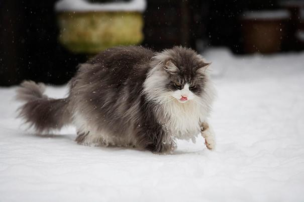 13. кошка, мейн-кун, подборка